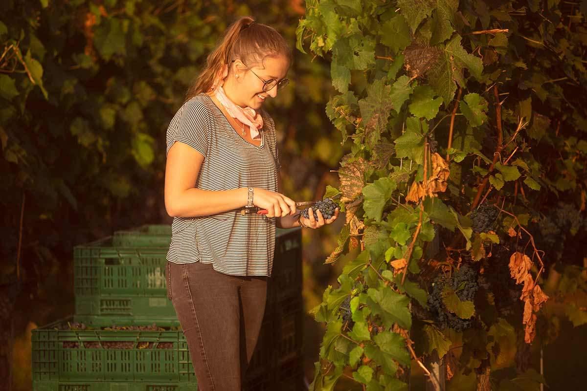 Foto einer Weinlese